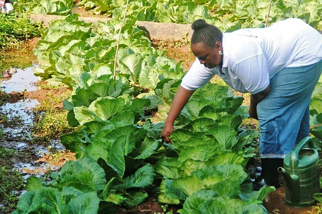 Livelihood support rejuvenates the activities of farmers affected by the Ebola outbreak