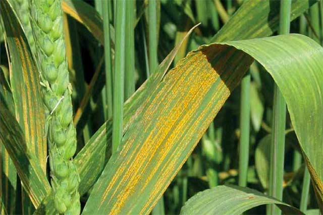 Ethiopia battles wheat rust disease outbreak in critical wheat-growing regions