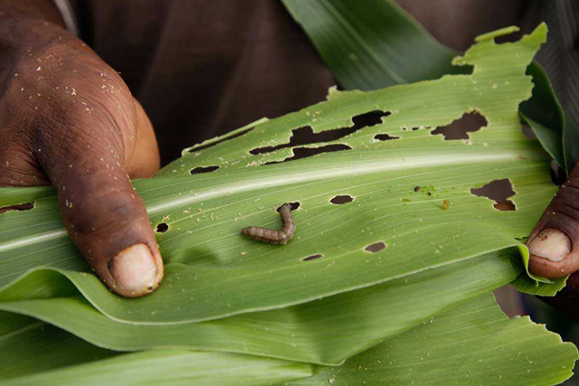 FAO joins panel of experts to share knowledge in tackling the Fall Armyworm threat in Africa