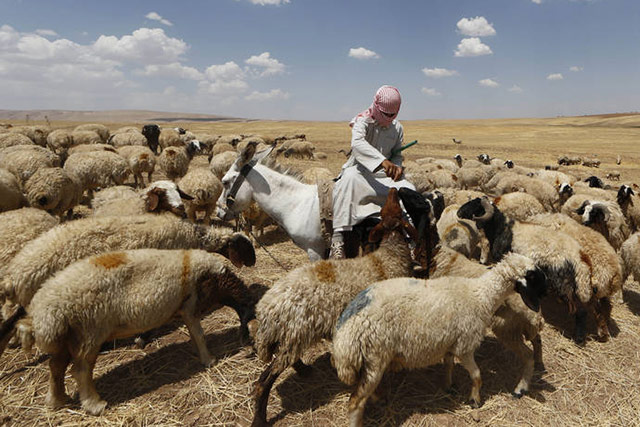 An Iraqi shepherd looks after his sheeps in al-Hamdaniyah, 76 km west of the Kurdish autonomous region's capital Arbil, on June 18, 2014, as Iraqis fleeing violence in northern Iraq gather at a nearby temporary camp. AFP PHOTO/KARIM SAHIB)