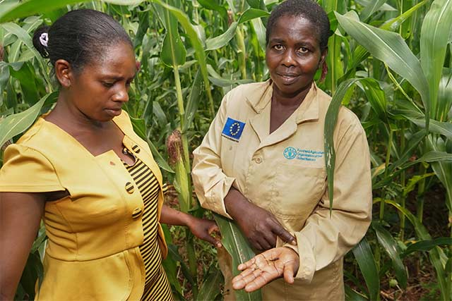FAO helps Kenyan farmers rescue harvest from Fall Armyworm