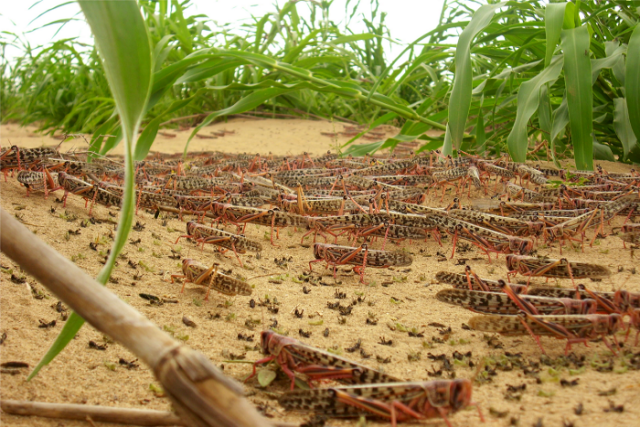 Ethiopia: 1 million in need of urgent food assistance due to desert locust invasion