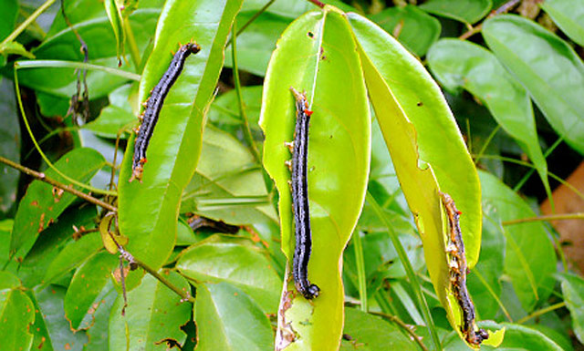 Caterpillar plague wreaks havoc in Liberia