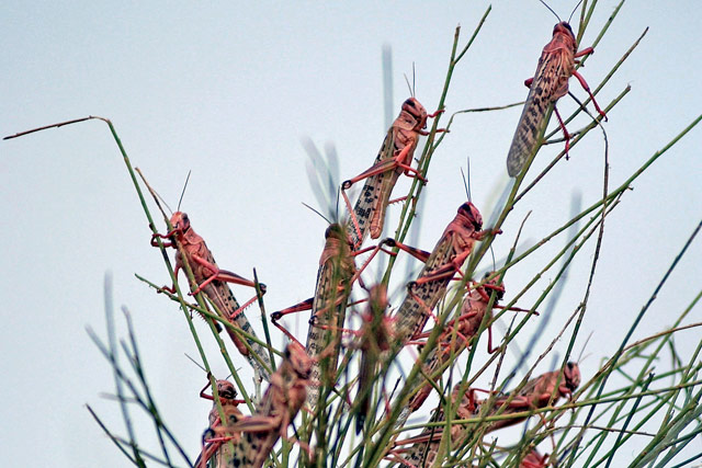 New locust alert for northwest Africa