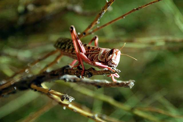 FAO warns that recent torrential rains and cyclones could favour locust surge