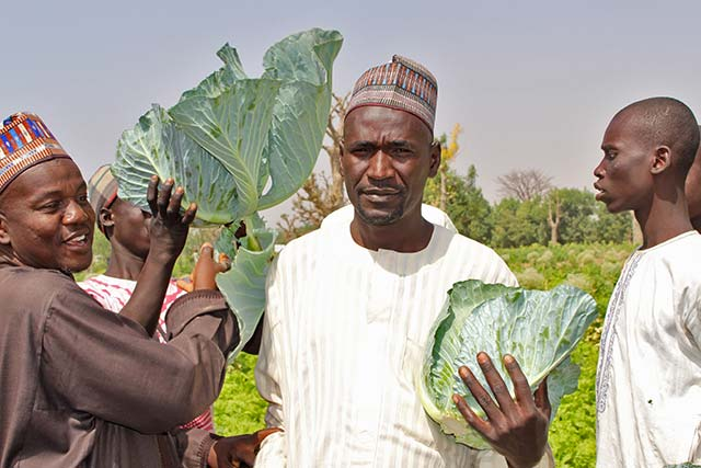 FAO supported farmers look to good harvest in northeastern Nigeria