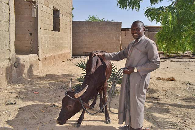 FAO's bull distribution to boost rural youth employment in northeastern Nigeria thanks to EU funding