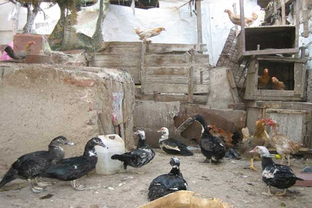 Strengthening avian influenza epidemiology, biosecurity and coordination in Egypt