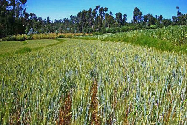 Rapid response to yellow rust outbreak in Ethiopia
