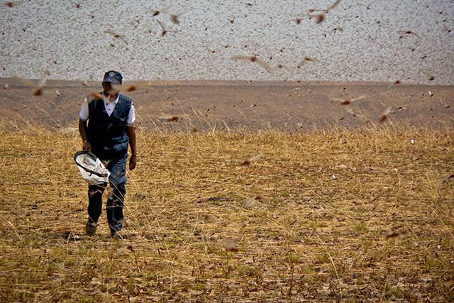 Emergency Support to the Locust Campaign 2013/14 in response to the locust plague in Madagascar
