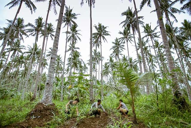Support for the recovery of coconut-based livelihoods and establishment of pest management systems in the Philippines