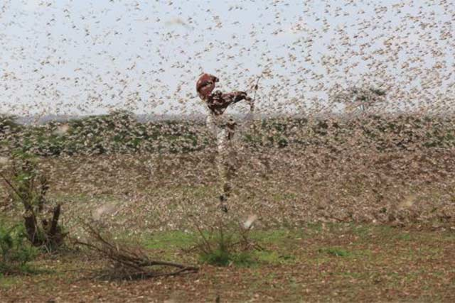 Effective emergency desert locust control in locust-prone countries in the Horn of Africa