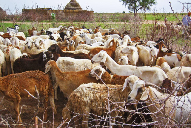 Supporting household food security, agricultural production and livestock husbandry in Sudan