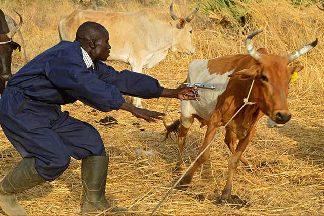 FAO works side-by-side with community-based animal health workers to improve livestock health in South Sudan