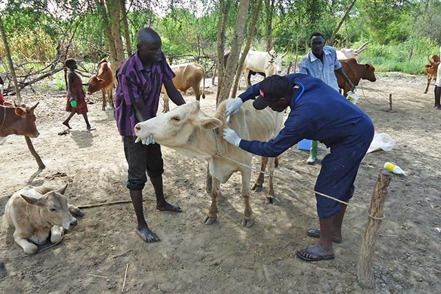 Protecting livestock health in the midst of conflict in South Sudan