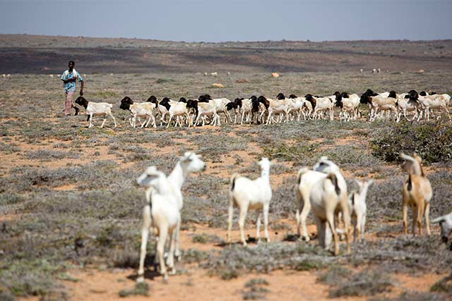 In Somalia massive livestock losses have severely impacted livelihoods and food security