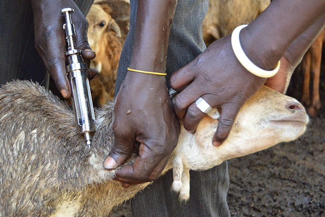 FAO protects South Sudanese goats from disease in Eastern Equatoria