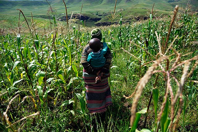 Expected sharp fall in Southern African maize production raises food security concerns