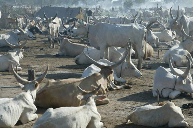Growing concern for South Sudan's herders as conflict displaces millions of cattle