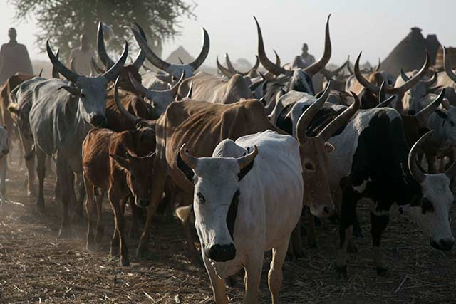 Critical livestock health programme in South Sudan at risk without more support