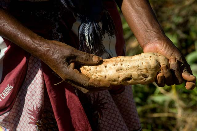 Sweet potatoes – cultivating resilience, fighting malnutrition in Somalia
