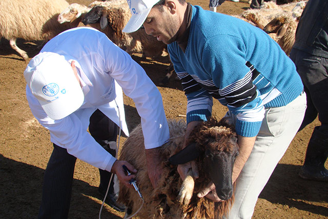 Small-scale livestock keepers in Syria receive emergency support from FAO