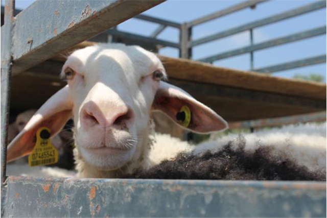 Support livestock-based livelihoods of the vulnerable population in the occupied Palestinian territory