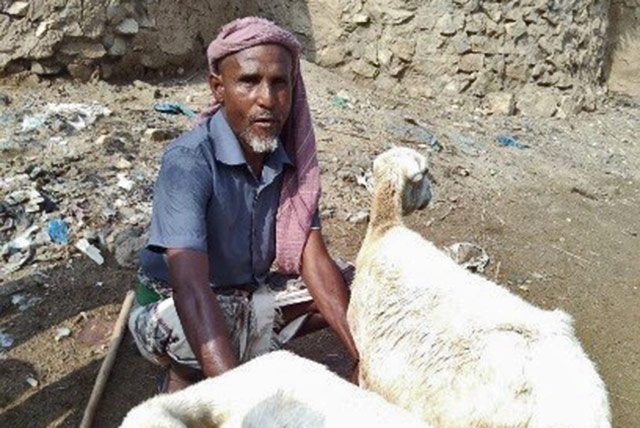 Hamoud Ali, a beneficiary of FAO's Emergency Livestock Restocking project in Yemen, tending to his sheep