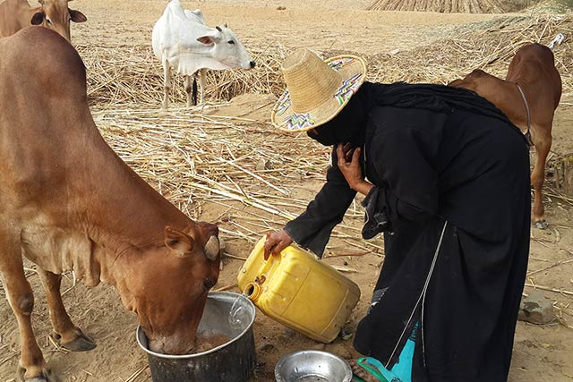 Empowering women in the Yemeni dairy sector