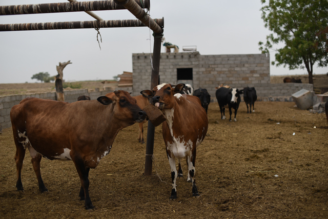 FAO nutrient block technology improves animal health and milk production in Yemen