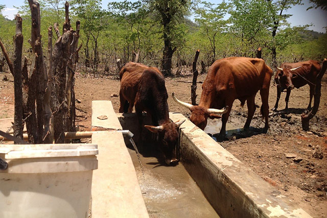 Emergency drought mitigation operation for livestock in Zimbabwe