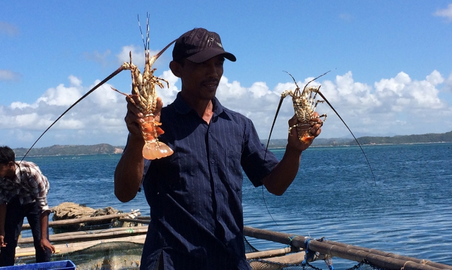 Lobster demand continues to grow, but prices weaken'
