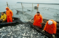 The herring fishery in Iceland was late getting started this year