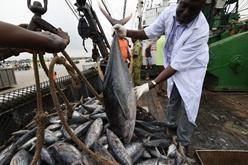 Abidjan, Cote d'Ivoire - Fishermen offloading tunas after a fish catch at Abidjan's industrial fish port.