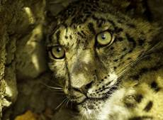 Call for input for Snow Leopard Day