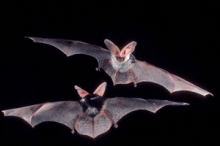 Photo: ©Merlin D. Tuttle, Bat Conservation International