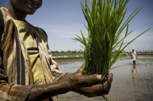 La riziculture redonne de l'espoir à une communauté kenyane