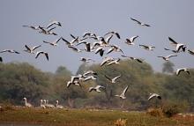 Photo: J.M. Garg, via WIkimedia Commons: http://commons.wikimedia.org/wiki/File:Bar-headed_Geese-_Bharatpur_I_IMG_8337.jpg