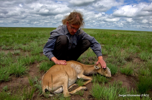Una mortífera plaga amenaza a los antílopes en vías de extinción en Mongolia
