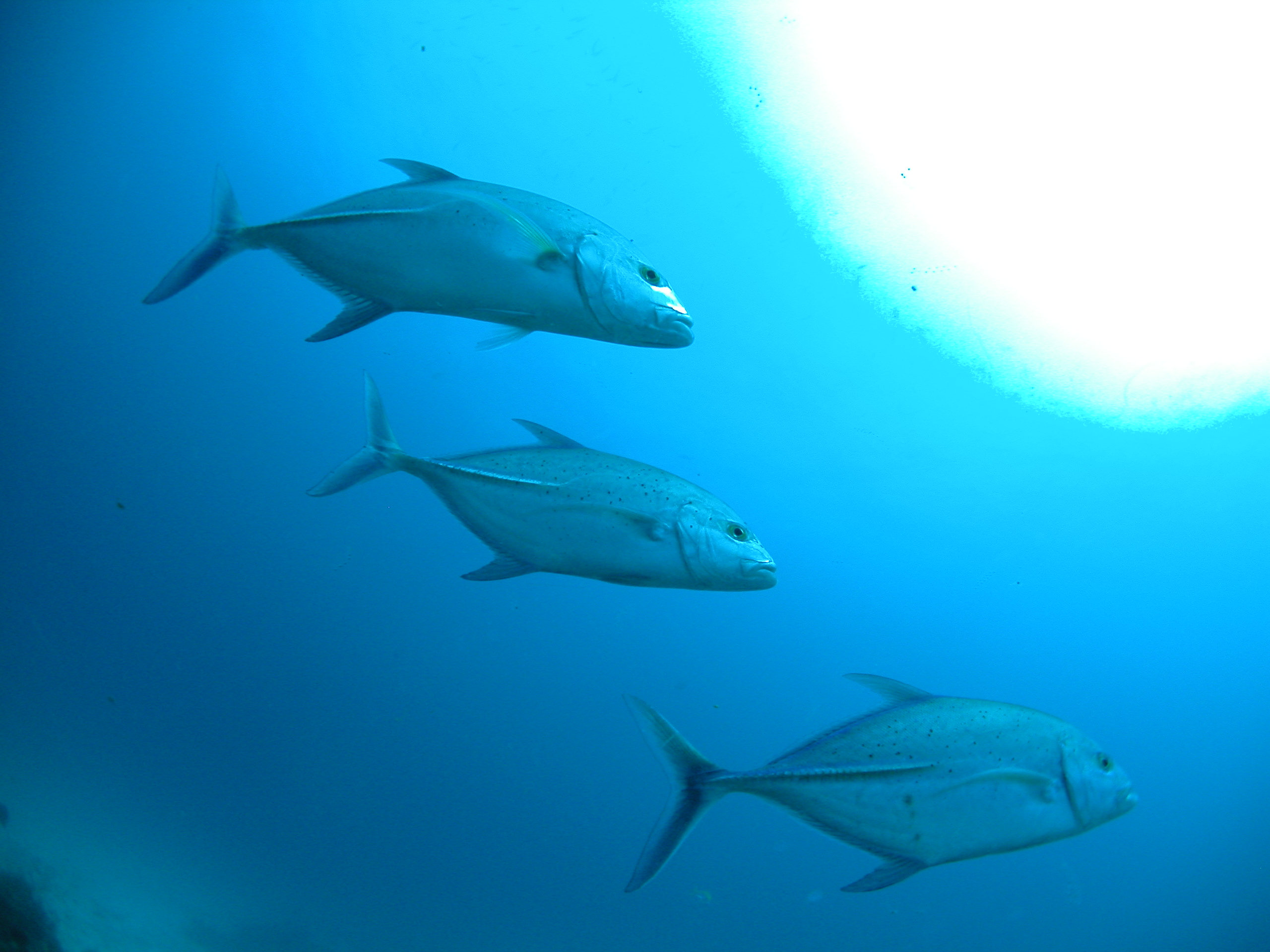 Photo: ©TANAKA Juuyoh (田中十洋) via a Creative Commons License (https://commons.wikimedia.org/wiki/File:Bluefin_trevally_trio.jpg)