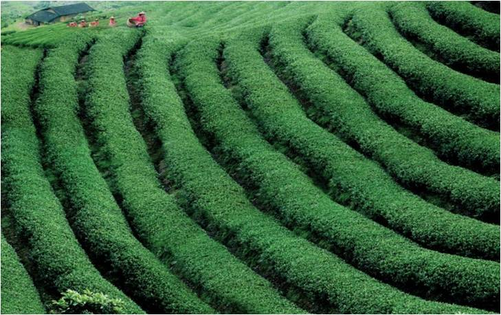 Photo: Courtesy of GIAHS/Fuzhou Jasmine and Tea Culture System