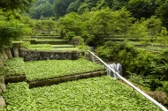 Photo: © Shizuoka WASABI Association for Important Agricultural Heritage Systems Promotion