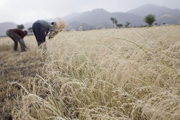 Promoting neglected and underutilized crop species – African