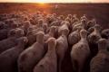 Réduire les émissions de gaz à effet de serre dues à l'élevage: c'est possible
