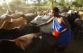 Les femmes gardiennes principales de la diversité du bétail
