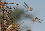 الجراد الصحراوي والآفات والأمراض النباتيّة العابرة للحدود