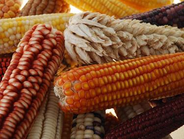 النظام العالمي للإعلام والإنذار المبكر عن الموارد الوراثية النباتية للأغذية والزراعة