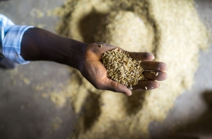 As rice import bills rise, African countries must sustain growth