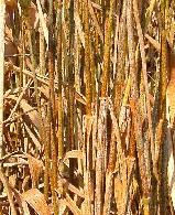 rust in wheat