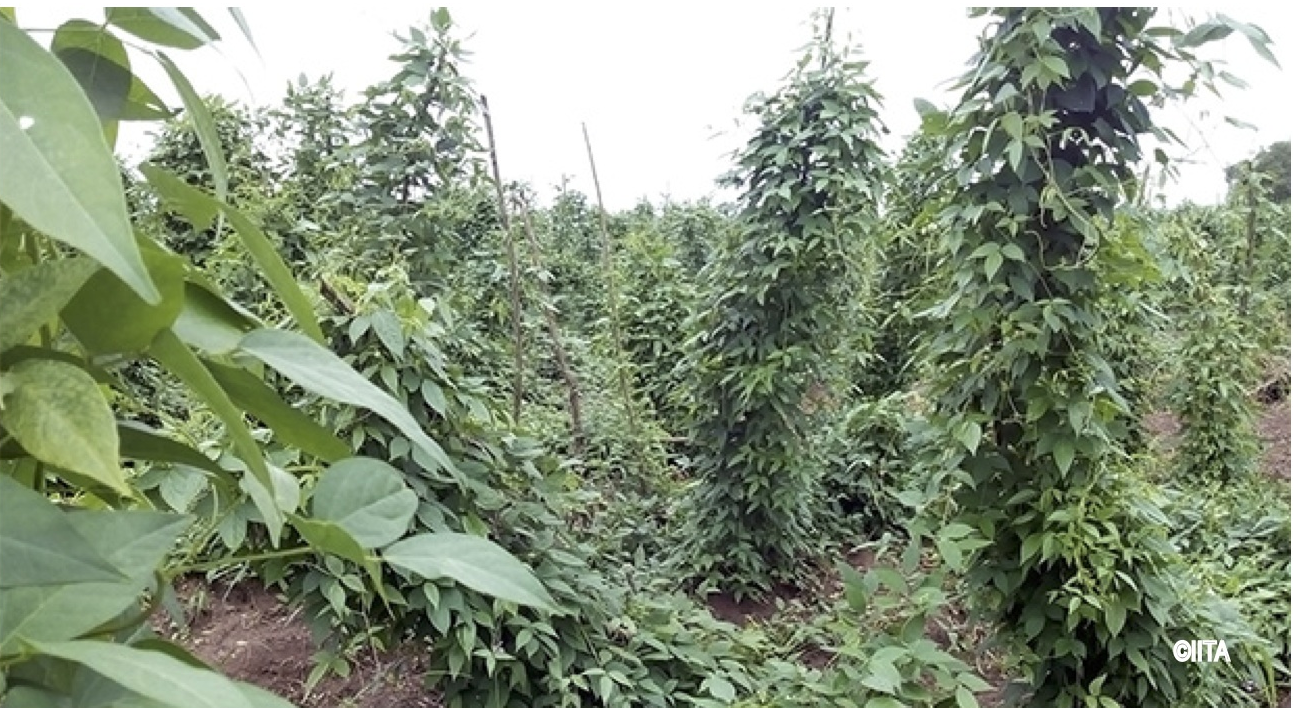 Orphan crops can bring food security to millions of people
